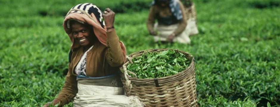 Le coltivazioni dei prodotti del commercio equo e solidale sono biologiche e rispettose dell'uomo e dell'ambiente